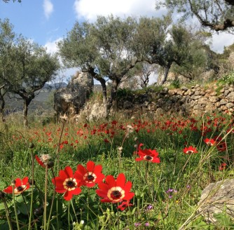 red poppies in old kardamyli